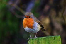 Foto eines Singvogels.