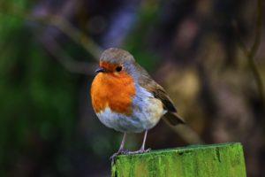 Bild eines Singvogels